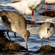 17,400 Support Rufa Red Knots