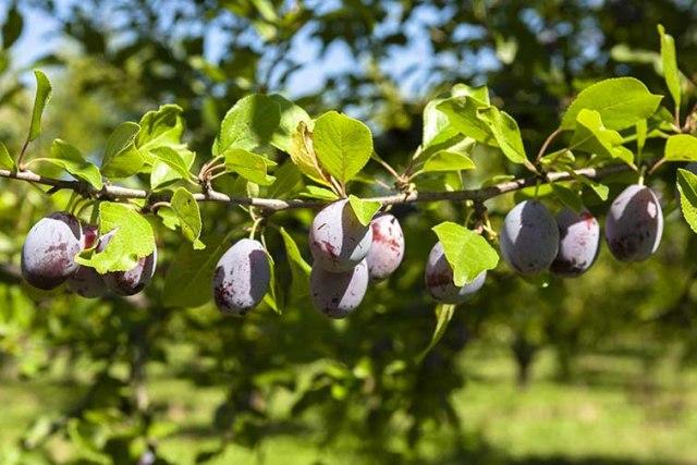 La prune d'ente ©photo Patrick Clermont