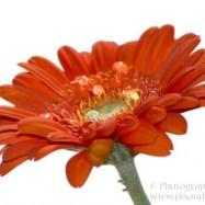orange daisy water drops small