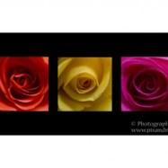 Orange, Yellow and Pink Roses