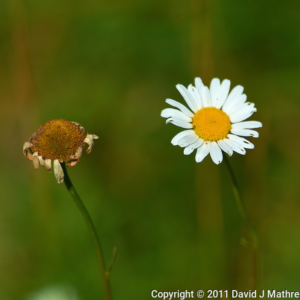 Daisy - Summer Wildflowers at the Sourland Mountain Reserve.  Image taken with a Nikon D3s and 70-200 mm  f/2.8 VR lens + TC-E III 20 teleconverter (ISO 200, 400 mm, f/5.6, 1/2000 sec). Raw image processed with Capture One Pro, Focus Magic, and Photoshop CS5. (David J Mathre)