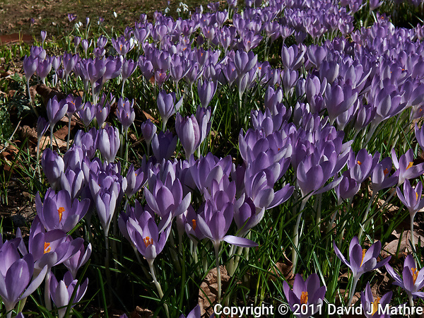 Field of Purple Crocus blooms. Image taken with a Leica D-Lux 5 camera (ISO 100, 15 mm, f/8, 1/320 sec). (David J Mathre)