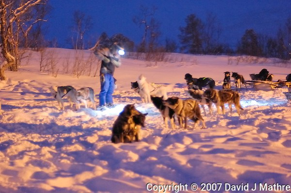 Dogs Being Prepared for a Dog Sled Ride Outside Tromsø. Image taken with a Nikon D2xs and 50 mm f/1.4 lens (ISO 1000, 50 mm, f/1.4, 1/8 sec).. (David J Mathre)