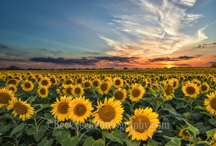 Smithson made this photo of the day in July 2014. We made many attempt to get this photo going back several times to try and get  this field of sunflowers at sunset and on our last try it finally worked.  We had to added a little flash to keep enough light on the sun flowers as it was getting dark.  We were not alone trying to capture this photo along IH35 that day there were many cars stopping to take picture of sunflowers fields and every time we came after.  Farmers now are using sunflowers in their rotation of their crops so they can go on for miles in some area. (Tod Grubbs & Cynthia Hestand)