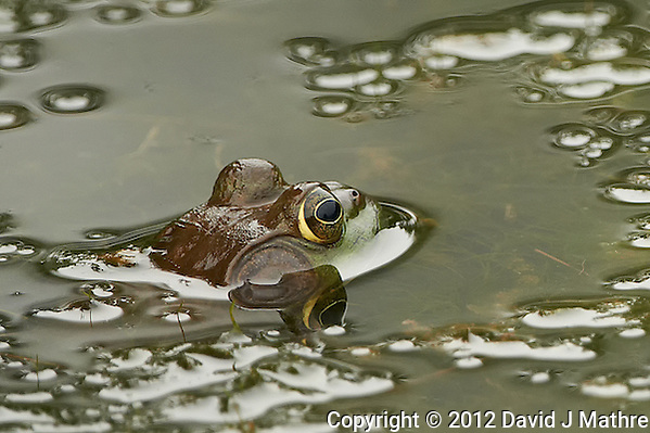 Bullfrog in a Pond at the Sourland Mountain Preserve in New Jersey. Image taken with a Nikon D800 and 500 mm f/4 VRII lens (ISO 800, 500 mm, f/4, 1/800 sec). Crop of image taken with the left focus sensor. (David J Mathre)