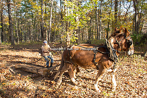 Robert Runyon uses his mules Jasper and Jenny to pull a log through his yard at their home in Sugar Tree Hollow in Winslow, Arkansas, for Out Here Magazine. Photo by Beth Hall (Beth Hall)