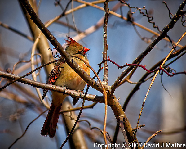 Inquisitive female Northern Red Cardinal perched in a sunny tree in my backyard. Winter nature in New Jersey. Image taken with a Nikon D2xs camera and 80-400 mm VR lens (ISO 400, 400 mm, f/5.6, 1/1000 sec). (David J Mathre)