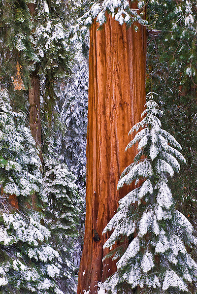 Giant Sequoia (Sequoiadendron giganteum) in winter, Giant Forest, Sequoia National Park, California (Russ Bishop/Russ Bishop Photography)