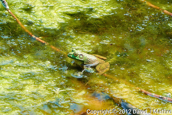 Bullfrog in a Pond at the Sourland Mountain Preserve. Summer Nature in New Jersey. Image taken with a Nikon 1 V1 + FT1 + 70-300 mm VR lens (ISO 200, 100 mm, f/5.6, 1/320 sec) and monopod. FOV Equivalent to ~ 270 mm on a 35 mm image sensor. (David J Mathre)