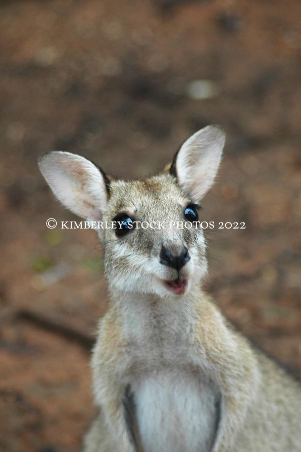 Agile wallaby (Annabelle Sandes/© Annabelle Sandes   Kimberley Media 2010)
