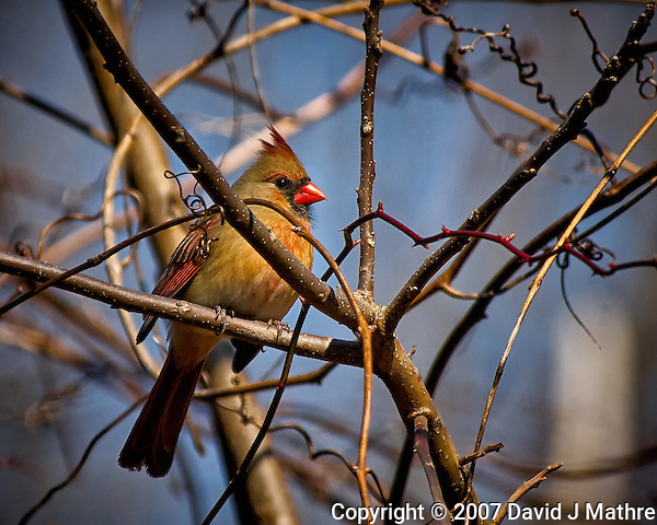Inquisitive female Northern Red Cardinal perched in a sunny tree in my backyard. Winter nature in New Jersey. Image taken with a Nikon D2xs camera and 80-400 mm VR lens (ISO 400, 400 mm, f/5.6, 1/1250 sec). (David J Mathre)
