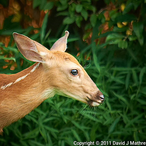 Blue Eyed Fawn Head Crop. Backyard Nature in New Jersey. Image taken with a Nikon D3x and 600 mm f/4 lens (ISO 400, 600 mm, f/4, 1/400 sec). Image processed with Capture One 6 Pro, Nik Define 2, and Photoshop CS5. (David J Mathre)