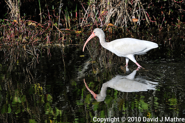 White Ibis Fishing at Merritt Island National Wildlife Reserve. Image taken with an Nikon D3x and 300  mm  f/2.8 VR lens (ISO 100, 300 mm, f/8, 1/320 sec). (David J Mathre)