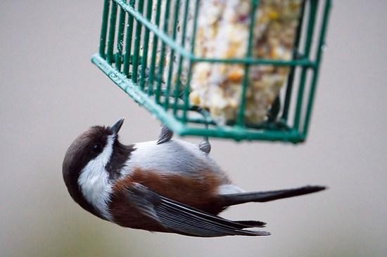 Chestnut-backed chickadee on suet feeder, Snohomish, Washington, USA (Brad Mitchell Photography)