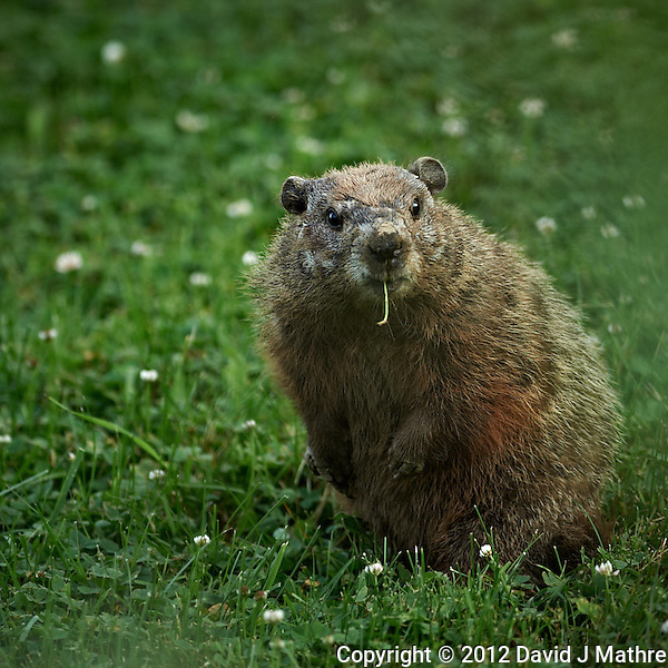 Shy Groundhog in My Backyard. Last Day of Spring in New Jersey. Image taken with a Nikon D3s and 300 mm f/2.8 VR lens (ISO 250, 300 mm, f/2.8, 1/320 sec). (David J Mathre)