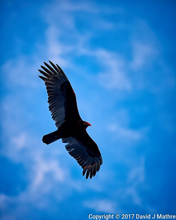 Turkey vulture soaring in the late afternoon sun. Winter nature in New Jersey. Image taken with a Nikon Df camera and 70-200 mm f/2.8 lens (ISO 400, 200 mm, f/2.8, 1/500 sec). (David J Mathre)