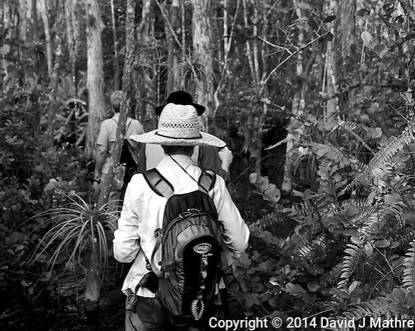 Follow the leader into the jungle. Swamp walk with Kristen and Angela in the Everglades behind  Clyde Butcher's Big Cyprus Gallery. Image taken with a Leica X2 camera (ISO 100, 24 mm, f/3.5, 1/80 sec). (David J Mathre)