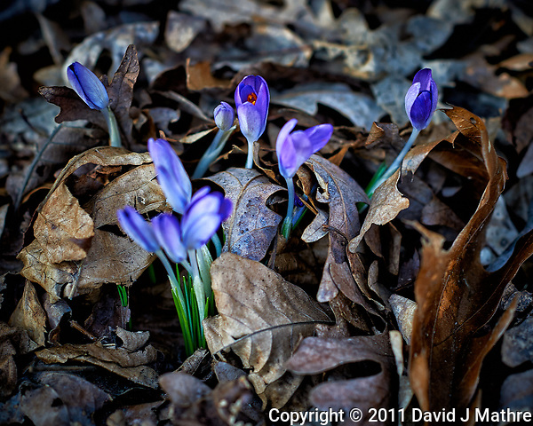 Purple crocus blooms peaking above the fall leaves. A sure sign that spring is coming. Image taken with a Nikon D3s camera and 85 mm f/1.4 lens (ISO 200, 85 mm, f/2.8, 1/200 sec). (David J Mathre)