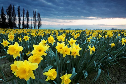 Daffodils blooming on a Washington Bulb Company farm in the Skagit Valley, Washington
