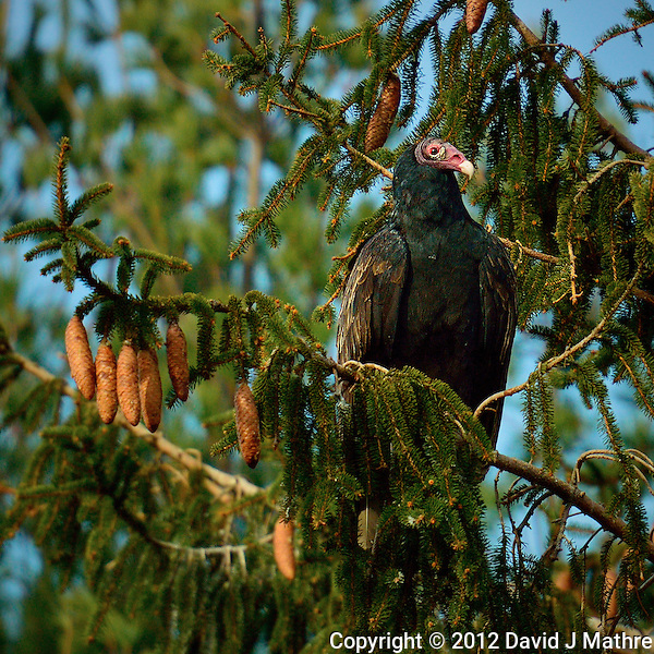 Turkey Vulture in a Tree Waiting to Warm in the Morning Sun. Image taken with a Nikon 1 V2 FT1 adapter and 70-200 mm f/2.8 VRII lens (ISO 160, 200 mm, f/2.8, 1/1600 sec). (David J Mathre)