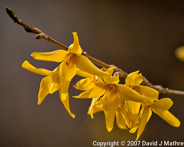 Forsythia blooms. Early spring nature in New Jersey. Image taken with a Nikon D2xs camera and 80-400 mm VR lens (ISO 200, 400 mm, f/5.6, 1/500 sec). (David J Mathre)