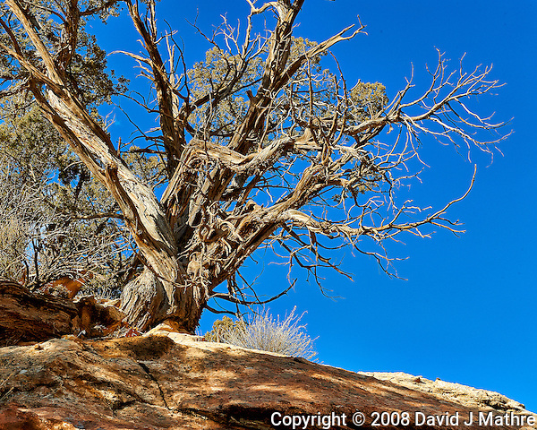 Old tree on a hill at Kelley's Place near Cortez, Colorado. Image taken with a Nikon D3 camera and 70-200 mm f/2.8 VR lens (ISO 200, 70 mm, f/16, 1/125 sec). (David J Mathre)