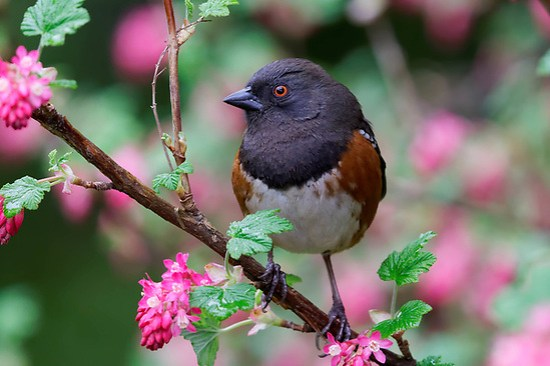 Male spotted towhee (Pipilo maculatus) perched on pink flowering currant bush, Snohomish, Washington, USA (Brad Mitchell Photography)