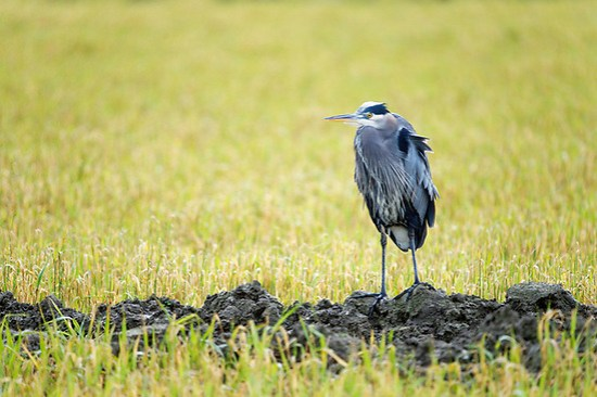 Great blue heron standing at edge of muddy irrigation channel, Fir Island, Skagit Country, Washington (Brad Mitchell Photography)