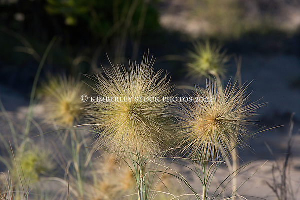The spiky inflorescences of Beach Spinifex (Spinifex hirsutus), commonly found growing on sand dunes on the Kimbelrey coast. (Annabelle Sandes)