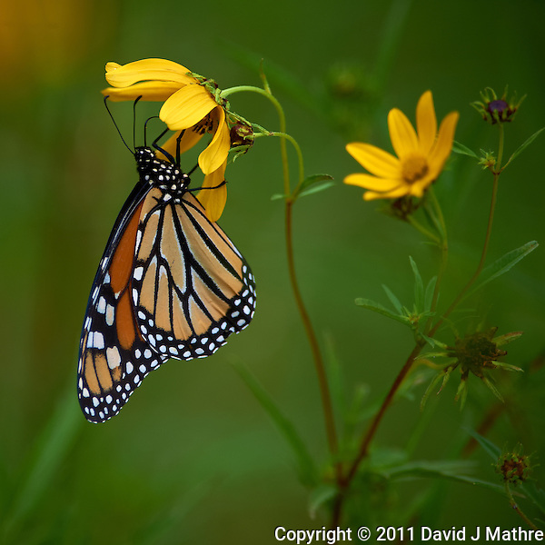 Monarch Butterfly on Yellow Wildflower. Sourland Mountain Preserve, Summer Nature in New Jersey. Image taken with a Nikon D3s and 300 mm f/2.8 VR lens + TC-E III 20 teleconverter (ISO 220, 600 mm, f/5.6, 1/500 sec). Raw image processed with Capture One Pro 6, Nik Define, and Photoshop CS5. (David J Mathre)