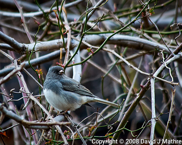 Dark-eyed junco in the vines. Late winter backyard nature in New Jersey. Image taken with a Nikon D300 camera and 80-400 mm VR lens (ISO 450, 400 mm, f/5.6, 1/250 sec). (David J Mathre)