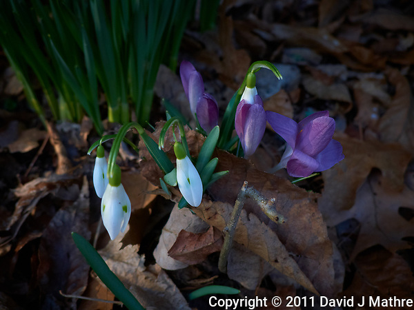 Late winter snow drop and purple crocus flowers. Spring must be coming. Image taken with a Leica D-Lux 5 camera (ISO 100, 19 mm, f/3.3, 1/100 sec). (David J Mathre)