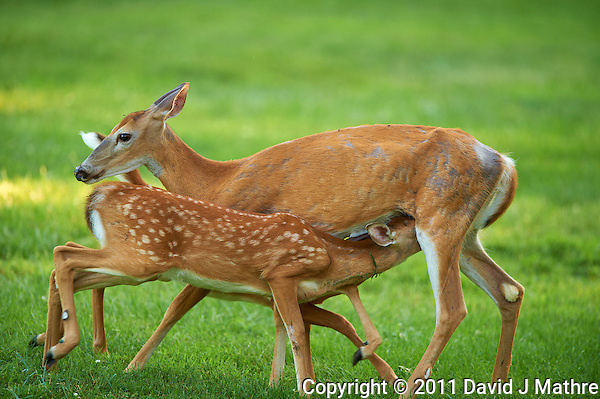 Milking Time Twin Fawns and Doe.  Summer Backyard Nature in New Jersey. Image taken with a Nikon D3s and 400 mm f/2.8G II lens (ISO 500, 400 mm, f/2.8, 1/400 sec). (David J Mathre)