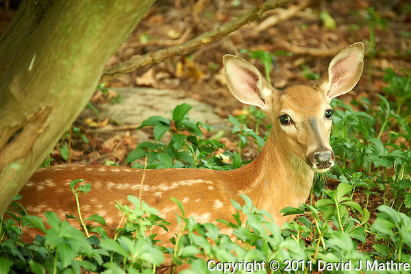 Fawn Hiding in the Woods. Summer Nature in New Jersey. Image taken with a Nikon D700 and 28-300 mm VR lens (ISO 1600, 300 mm, f/5.6, 1/25 sec). (David J Mathre)
