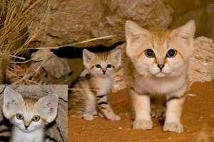 sand-kitties