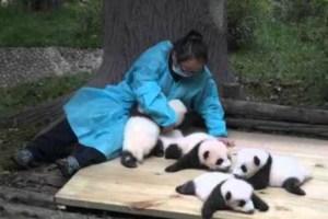 panda-638x425