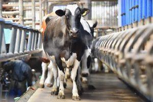 mucche-latte-638x425
