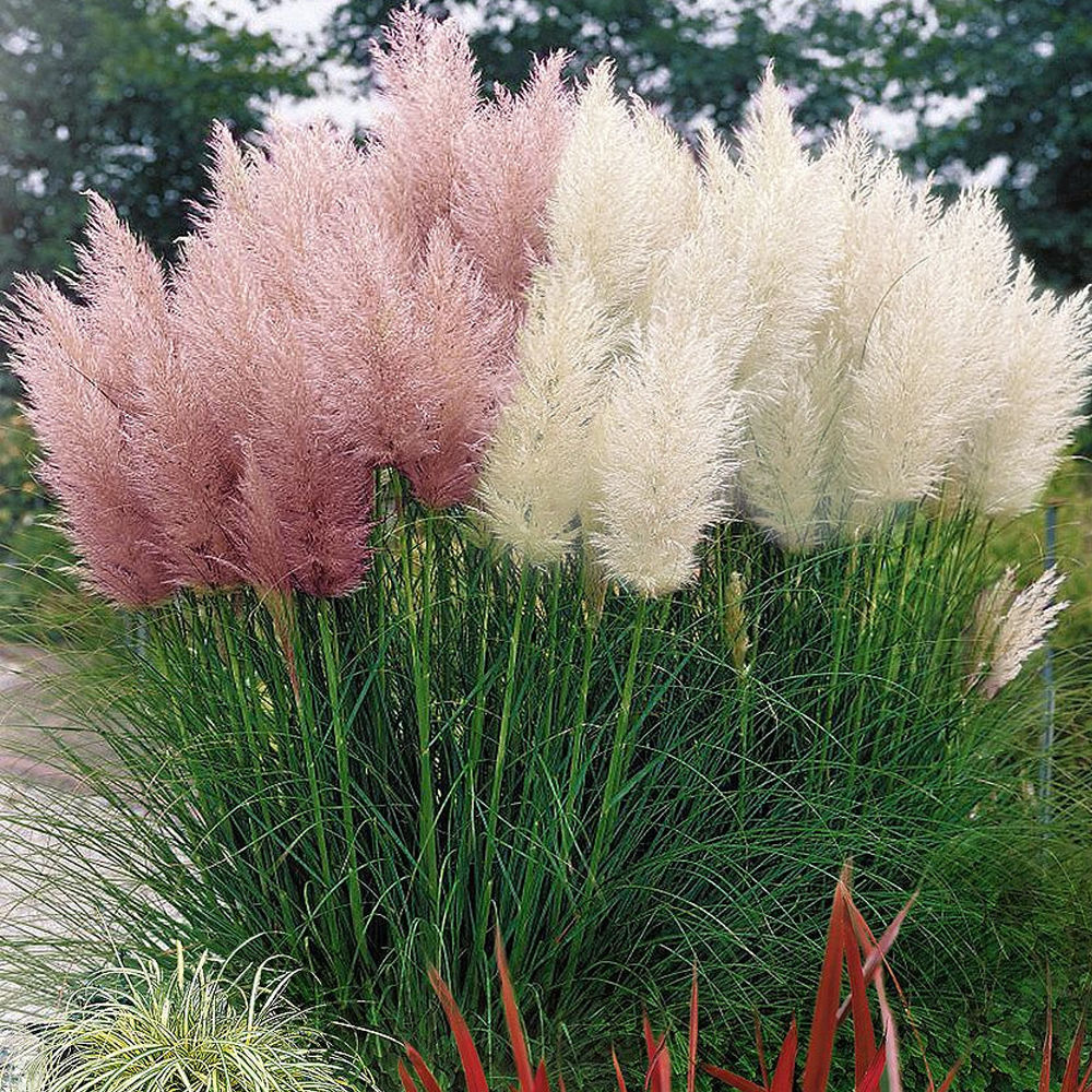 Impressive Of See More Pink Combo Cortaderia Selloana Pampas Grass Pumila Pink Pampas Grass Lowes Pink Pampas Grass Seeds Sale houzz 01 Pink Pampas Grass