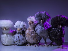 Chic Chicks ©Dan Bannino - Little ones3