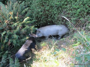 Ben and the white boar down in the creek