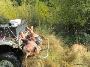 This boar was shot in the creek just behind the motor bike
