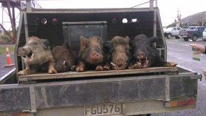 5 good boars arriving at the comp