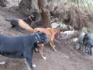 Argo and Opi with another training dog Tass