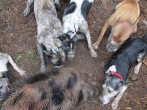 dogs bailing 124 pound baor