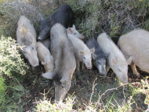 mob of pigs bailed above the dog kennels