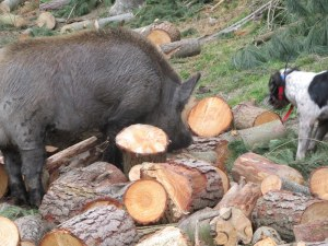 Bailing boars up at my firewood pile when I could not split any rings due to injuries