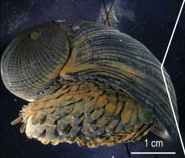 Crysomallon squamiferum