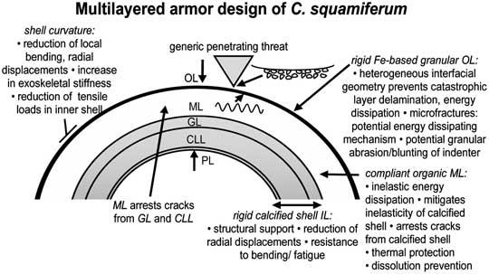 I vari strati della corazza del Crysomallon squamiferum