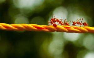 Ants-Walking-on-Rope-600x375