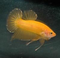 Betta Fish Yellow